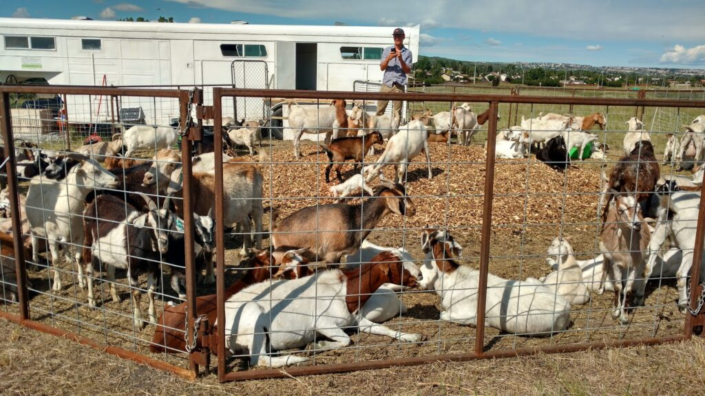Goats at Confluence Park, Calgary