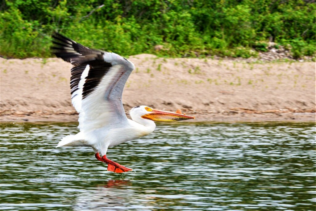 pelican-sir-winston-churchill-provincial-park