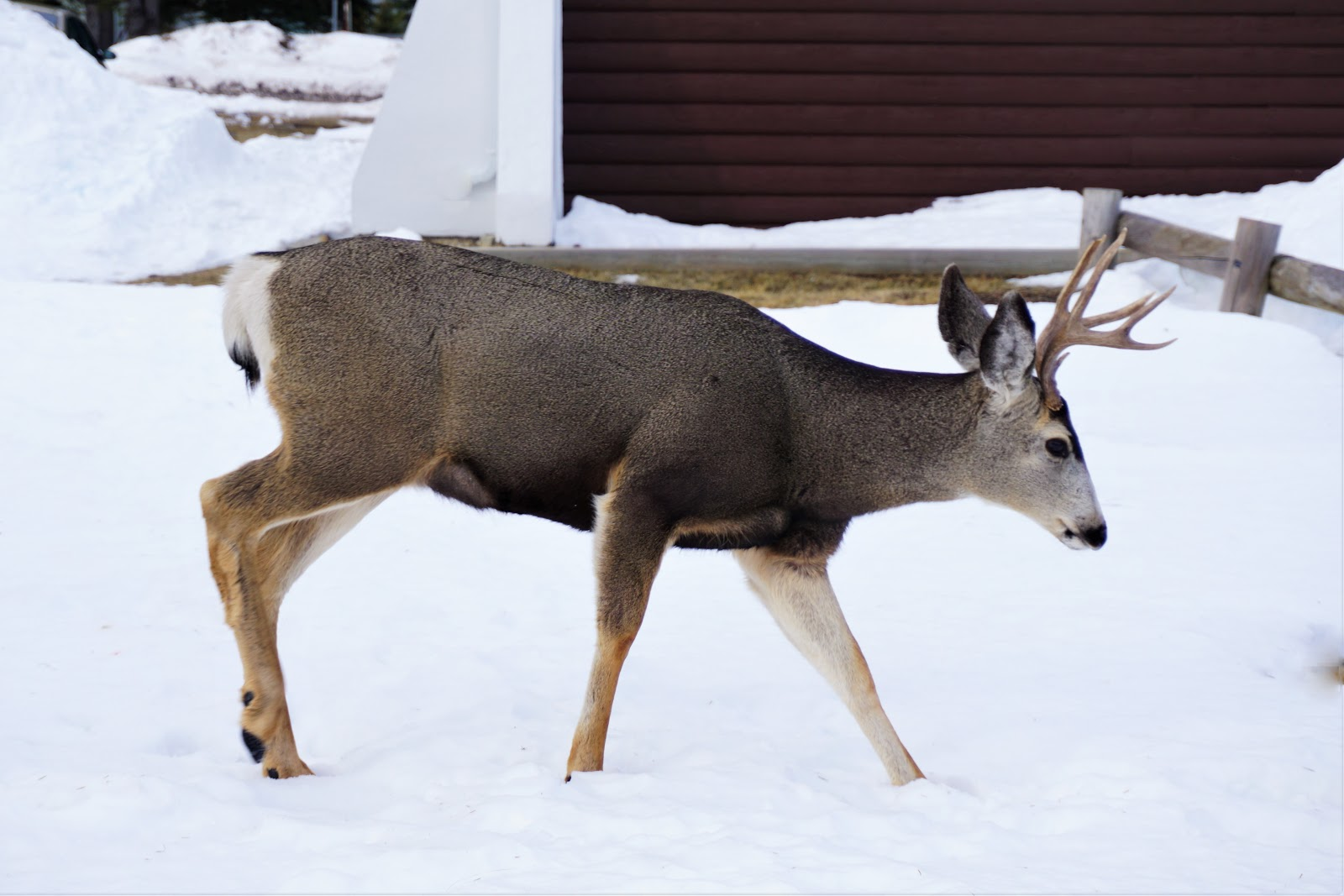 waterton-lakes-national-park-buck