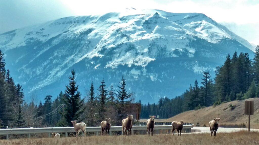 bighorn-sheep-jasper.jpg