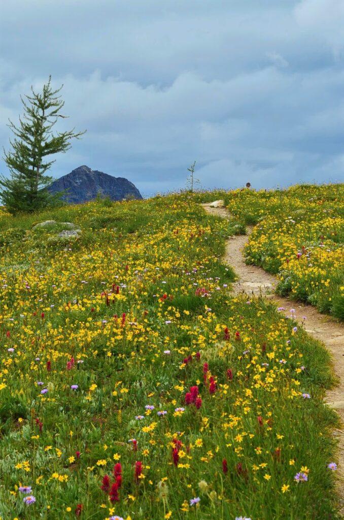 sunshine-meadows-wildflowers-banff%2B2.JPG
