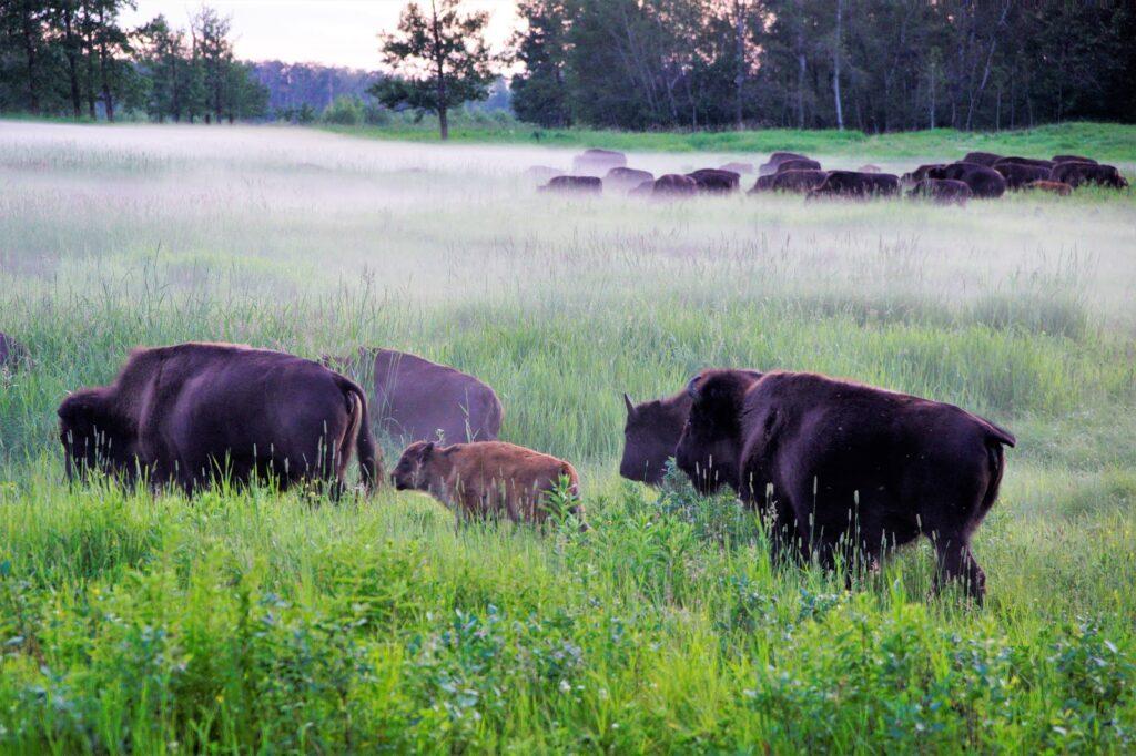 bison-in-the-mist-elk-island-national-park.JPG