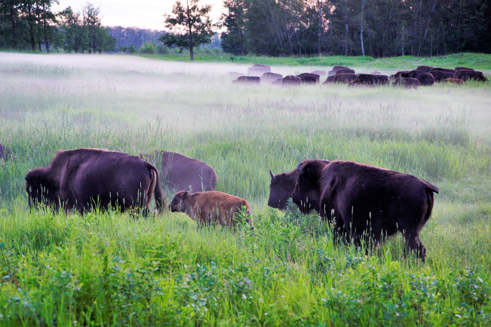 Bison in the mist, Elk Island National Park