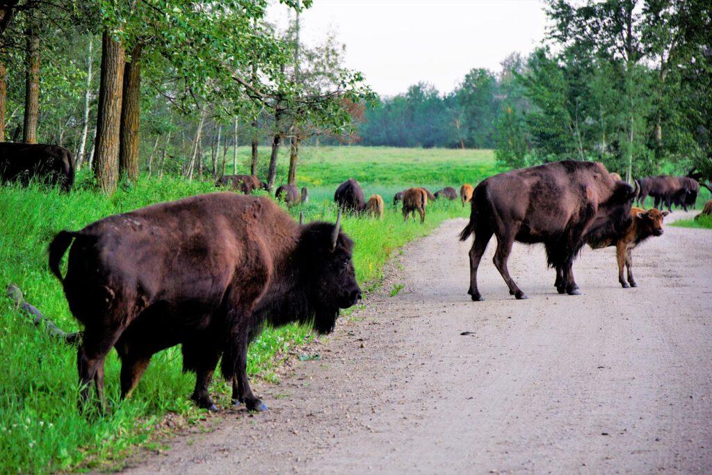 bison-loop-elk-island-national-park.JPG