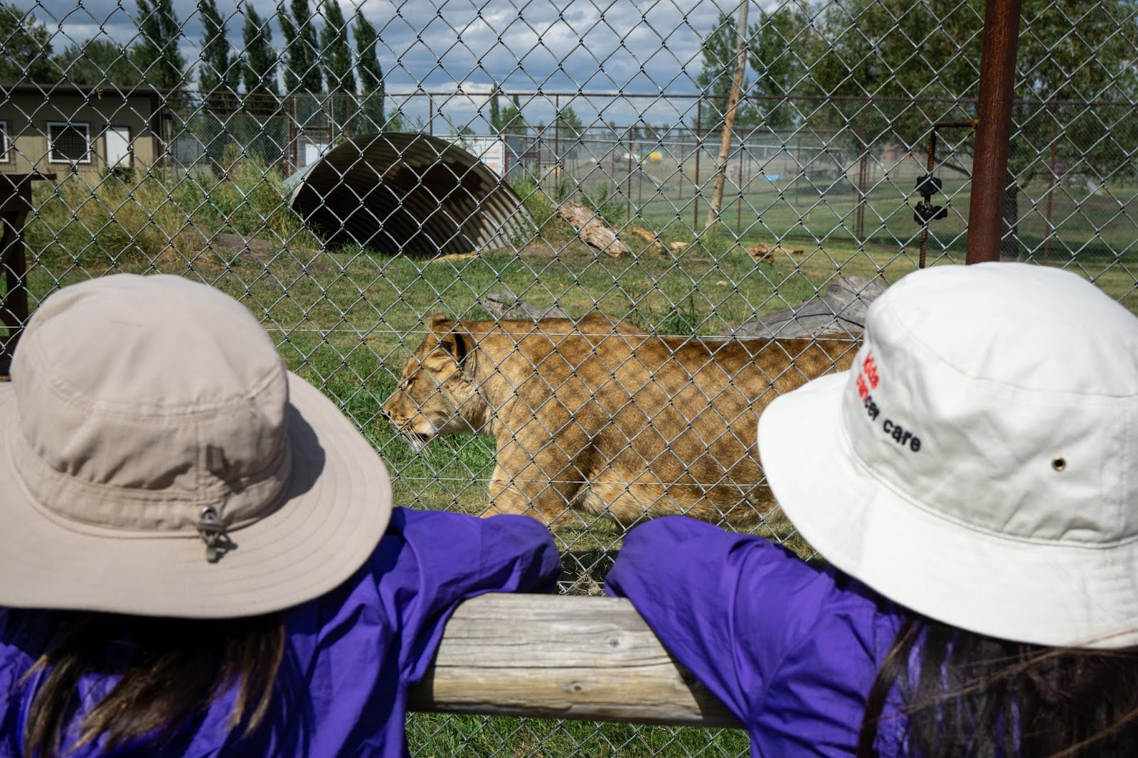 Zendaya the Lion at Discovery Wildlife Park, Innisfail