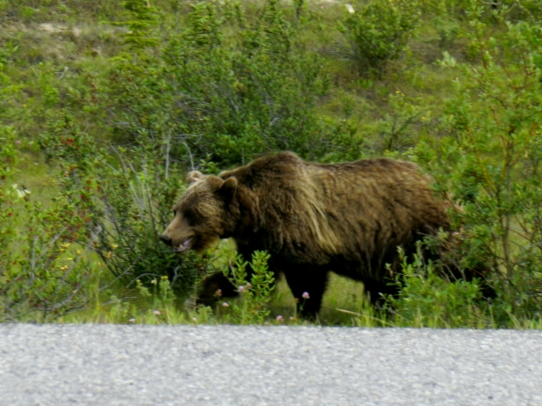 grizzly-bear-kananaskis