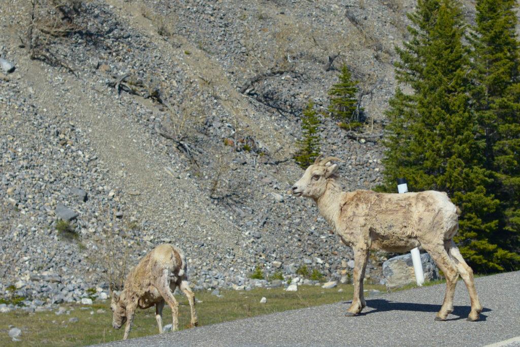 bighorn-sheep-highway-40