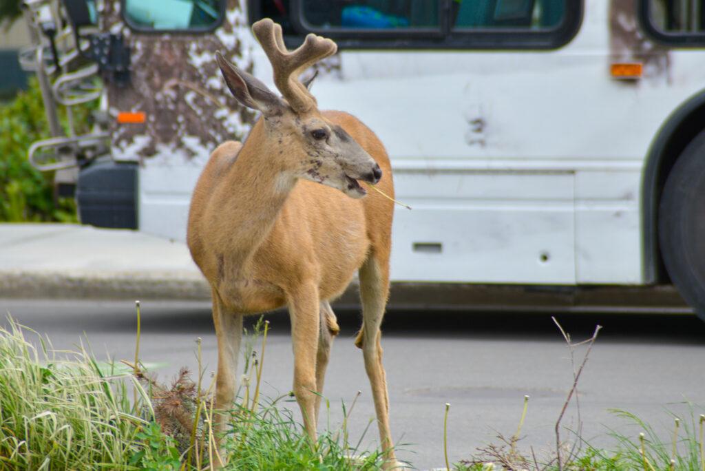 deer-grazing-banff-avenue