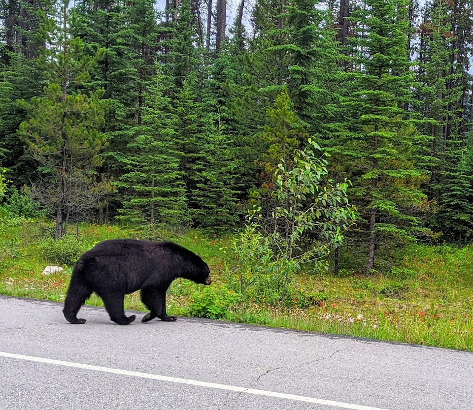 icefields-parkway-bear