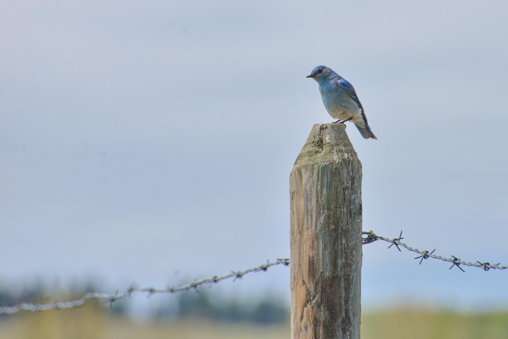 mountain-bluebird-2