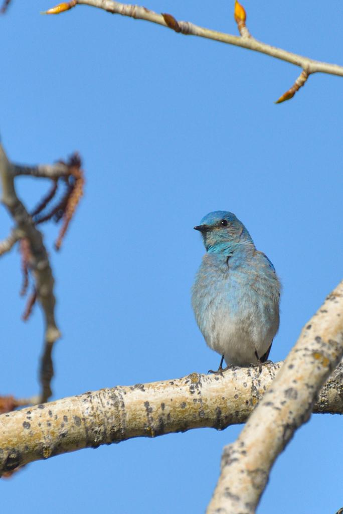 mountain-bluebird-3