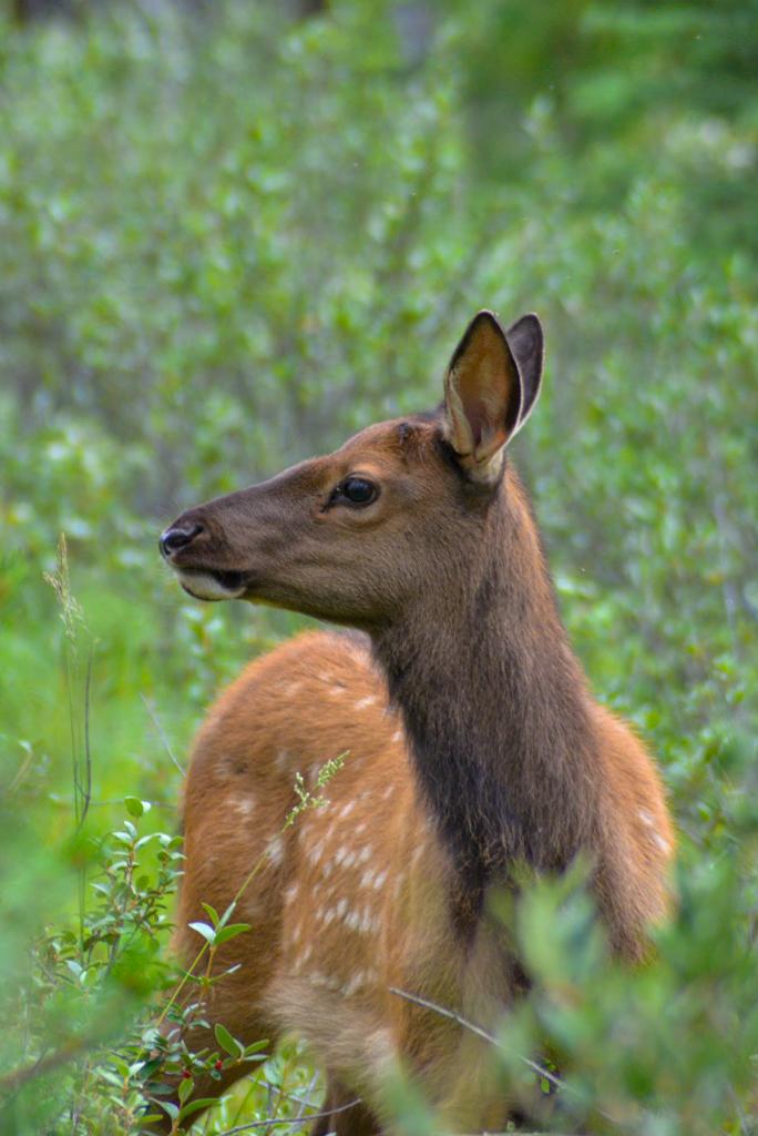 elk-calf