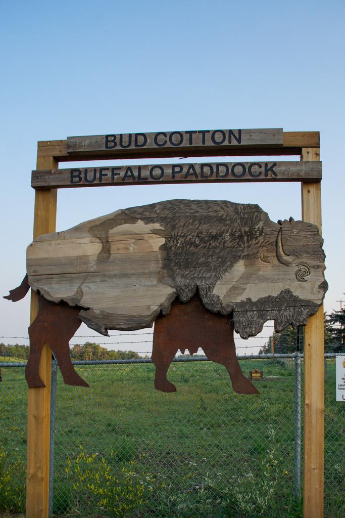 bud-cotton-buffalo-paddock-wainwright-alberta