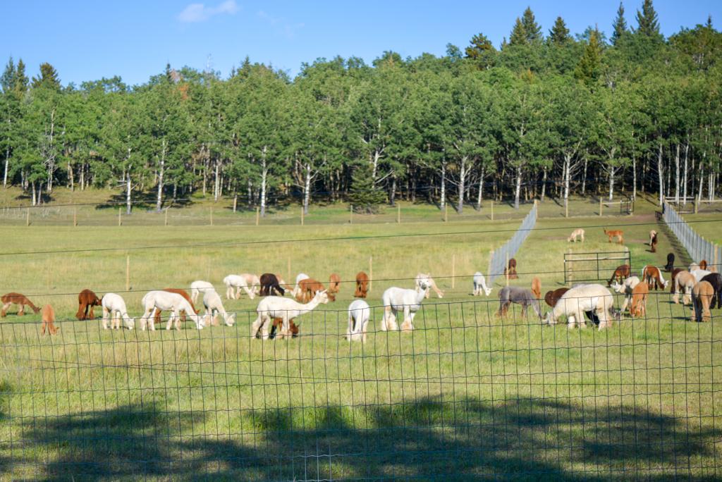 prairie-spirit-alpacas-millarville-02