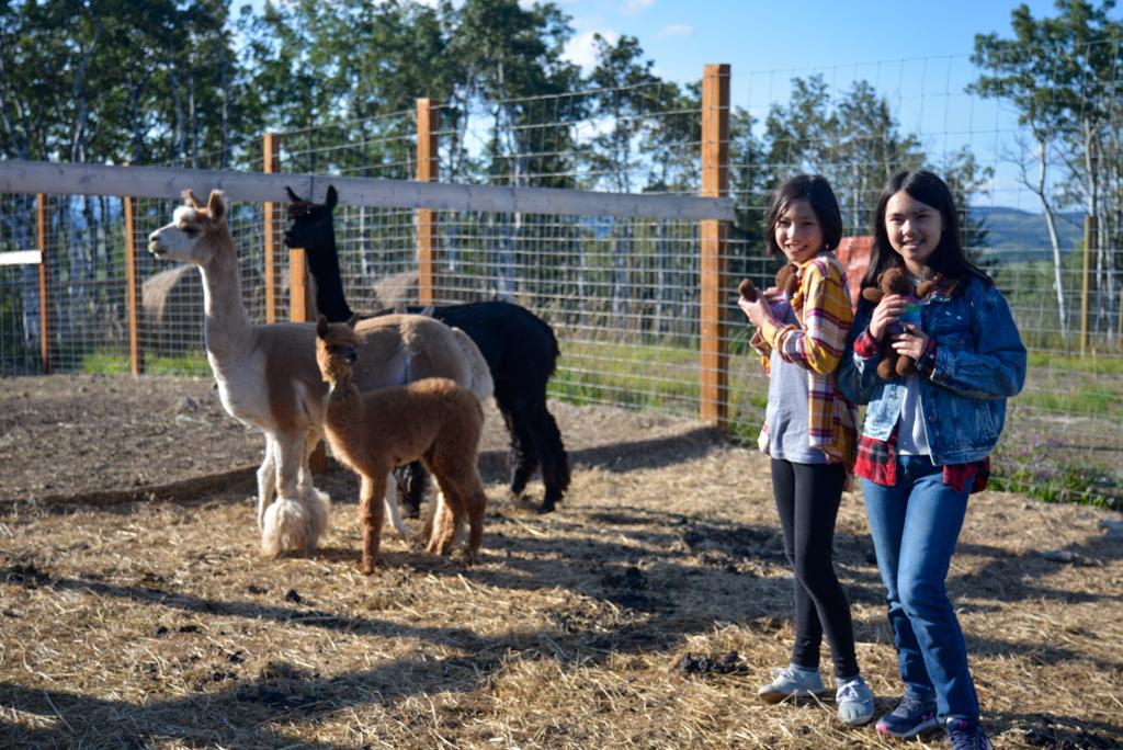 prairie-spirit-alpacas-millarville-05