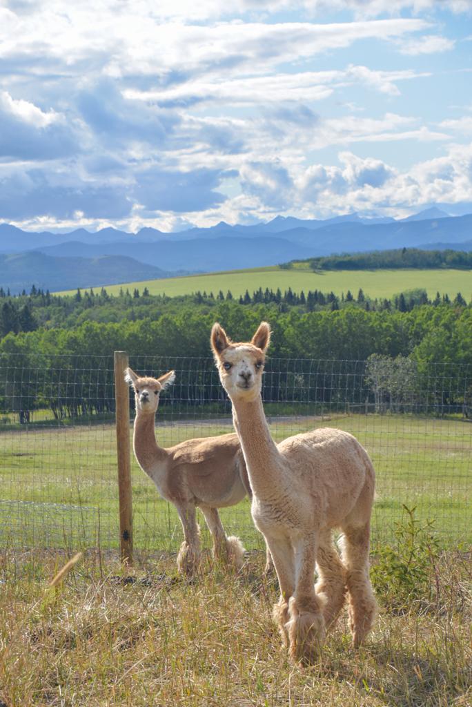 prairie-spirit-alpacas-millarville-08
