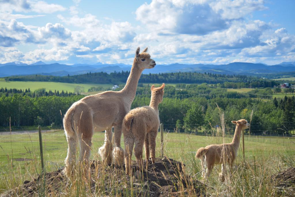 prairie-spirit-alpacas-millarville-10
