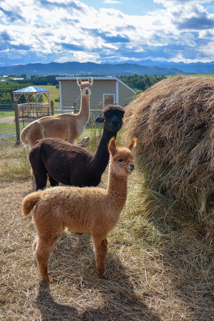 prairie-spirit-alpacas-millarville-11