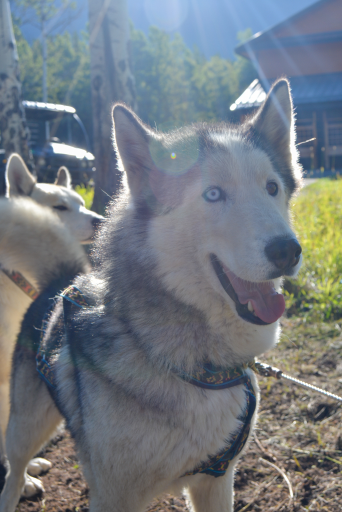 snowy-owl-sled-dogs-summer-dog-carting-09
