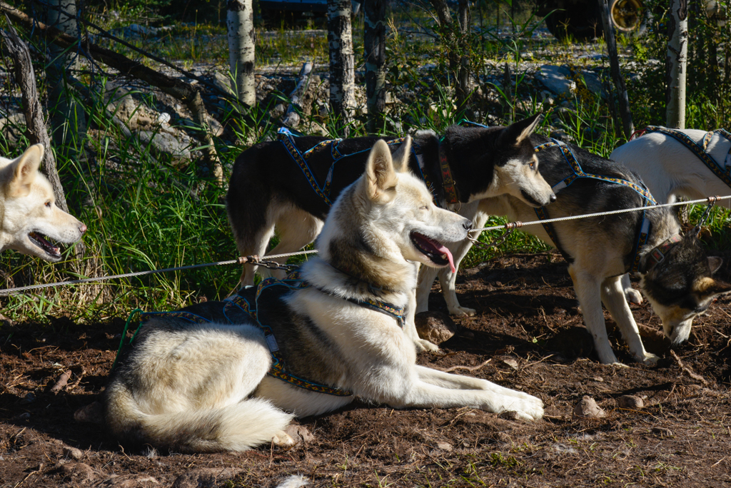 snowy-owl-sled-dogs-summer-dog-carting-11